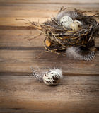 Quail eggs with feather Royalty Free Stock Photo