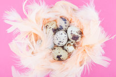Quail eggs in feathers nest. On hot pink background Stock Image