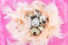 Quail eggs in feathers on pink Stock Image