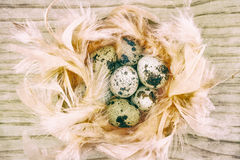 Quail eggs in feathers. On wooden background, with retro filter effect Stock Image