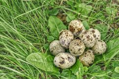 Quail eggs in the grass Royalty Free Stock Photography