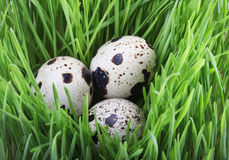 Quail eggs in the grass Stock Photos