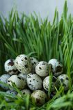 Many quail eggs lay in sprouted wheat germs. Quail eggs in the grass Royalty Free Stock Image
