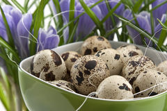 Quail eggs in green cup with crocuses Royalty Free Stock Image