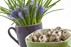 Quail eggs in green cup with crocuses on white Royalty Free Stock Photography