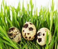 Quail eggs on a green grass. Stock Photo