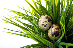 Quail eggs in green grass Stock Image