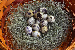 Quail eggs in the green nest put on brown basket Royalty Free Stock Photography