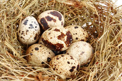 Quail eggs in hay Royalty Free Stock Image