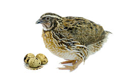 Quail with eggs isolated on white background Royalty Free Stock Photos