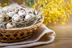 Quail eggs with mimosa branch Royalty Free Stock Photo
