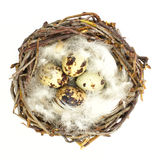 Quail eggs in nest Royalty Free Stock Images