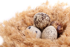 Quail eggs in a nest Royalty Free Stock Photos