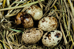 Quail eggs in nest Stock Image