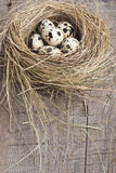 Quail eggs in nest. Fresh quail eggs in a nest of straw Royalty Free Stock Image