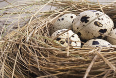 Quail eggs in nest. Quail eggs in a nest of hay close-up Stock Images