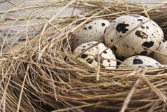 Quail eggs in nest Stock Images