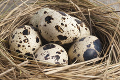 Quail eggs in nest. Fresh quail eggs in a nest of straw Royalty Free Stock Photography