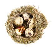 Quail eggs in a nest Stock Photography