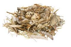 Quail eggs in nest Stock Photo