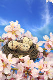 Quail eggs in the nest Stock Images