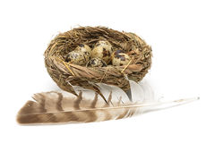 Quail eggs in the nest and bird feather isolated on white backgr Stock Photo