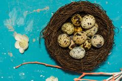 Quail eggs in the nest on blue background. happy Easter stock image