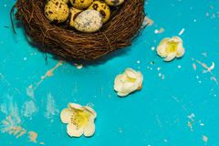 Quail eggs in the nest on blue background. happy Easter stock photos