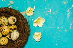 Quail eggs in the nest on blue background. happy Easter royalty free stock images