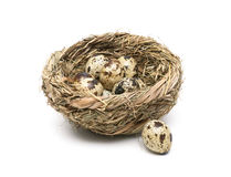 Quail eggs in a nest close up isolated on white background Stock Photo