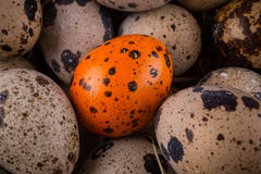 Quail eggs in a nest close-up with one orange egg Royalty Free Stock Image