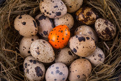 Quail eggs in a nest close-up with one orange egg Royalty Free Stock Images