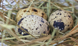 Quail eggs in a nest Royalty Free Stock Image