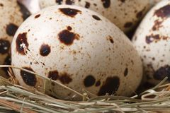 Quail eggs in nest closeup. macro. vertical. Spotted quail eggs in nest close up. macro. vertical Stock Images