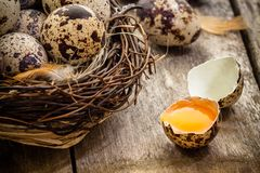 Quail eggs in a nest on a dark wooden background Stock Image