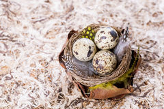 Quail eggs nest Royalty Free Stock Image