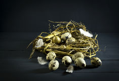Quail eggs in a nest with feathers. Stock Image
