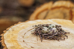 Quail eggs in the nest royalty free stock image