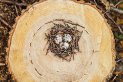 Quail eggs in the nest royalty free stock photography