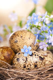 Quail eggs in the nest and forget-me-not Royalty Free Stock Image