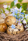 Quail eggs in the nest and forget-me-not Stock Photography