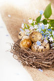 Quail eggs in a nest, forget-me-nots on a canvas Royalty Free Stock Photography