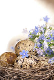 Quail eggs in a nest, forget-me-nots Royalty Free Stock Photo