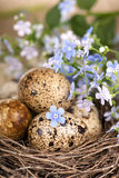 Quail eggs in a nest, forget-me-nots Stock Image