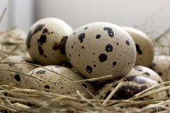 Quail eggs in a nest. Of hay Royalty Free Stock Images