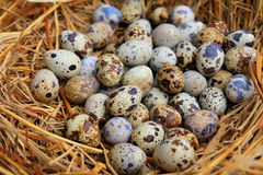 Quail eggs in a nest of hay close-up. Quail eggs in a nest Stock Images