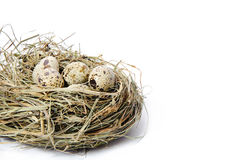 Quail eggs in a nest of hay. Group of quail spotted eggs in the grassy nest isolated on white Stock Image