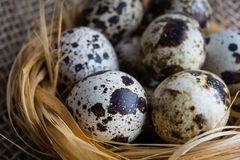 Quail eggs in nest Stock Photography