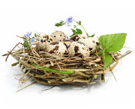 Quail eggs in a nest isolated on white Royalty Free Stock Photography
