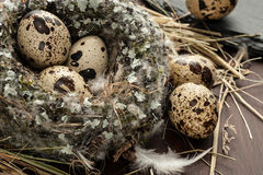 Quail eggs in a nest over old wooden background close-up Royalty Free Stock Image